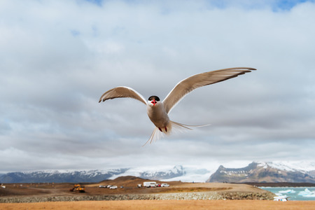 Arctic tern on white background - blue clouds. Stock Photo