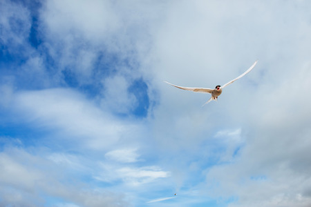 Arctic tern on white background - blue clouds. Iceland