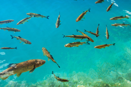Beautiful fish in the turquoise lake. Fantastic autumn. Plitvice