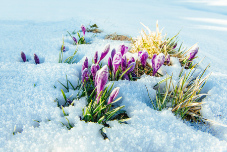 crocuses in snow. Colorful spring sunset over the mountain ranges in the national park Carpathians. Ukraine, Europe