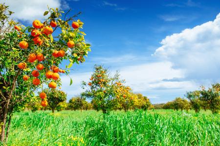 Orange - Orange tree Orange Park. Schoonheid wereld
