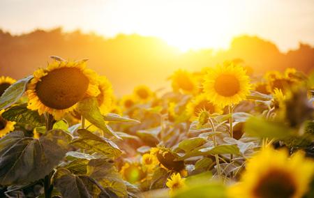 해바라기 정원입니다. 해바라기에는 건강 혜택이 풍부합니다. 해바라기 오일은 피부 건강을 개선하고 세포 재생을 촉진합니다. 스톡 콘텐츠