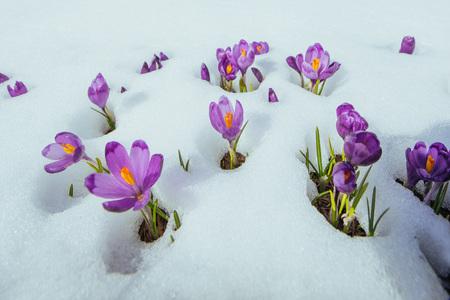 Blooming violet crocuses in mountains. Carpathians, Ukraine Europe