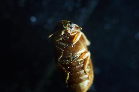 Gemeenschappelijk bed bug Cimex lectularius onderzijde - permanente schuifplaat onder sterke vergroting