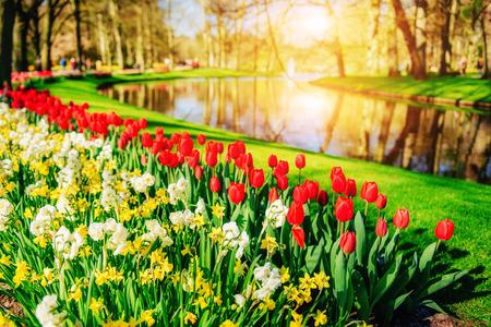 Garden in Keukenhof, tulips and daffodils in the spring. Netherlands Banco de Imagens - 85392778