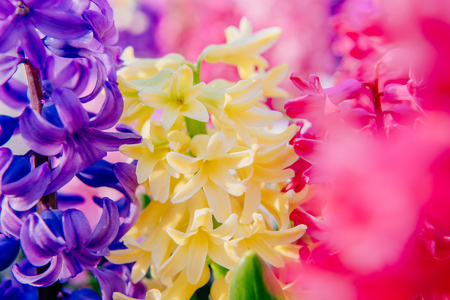 beautiful multicolored hyacinths. Holland. Keukenhof Flower Park.