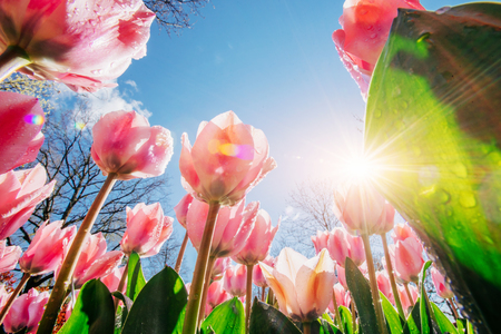 Pink tulips in the sunlight against the sky