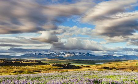 아이슬란드의 숲과 산의 그림 같은 풍경. 와일드 블루 루핀 피