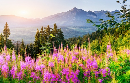Wild flowers at sunset in the mountains. Poland Stock Photo