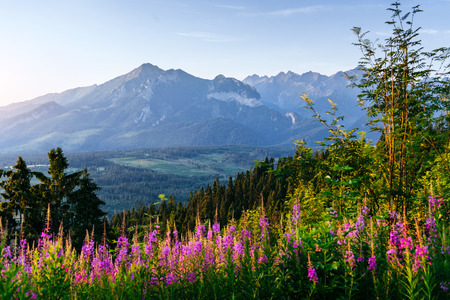 caucas: Wild flowers at sunset in the mountains. Poland Stock Photo