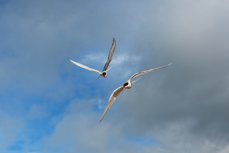 Arctic tern on white background - blue clouds Stock Photo