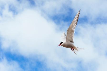 Belle nageoire polaire sur un fond de beau ciel bleu avec des nuages ??cumulus. Banque d'images - 85969984