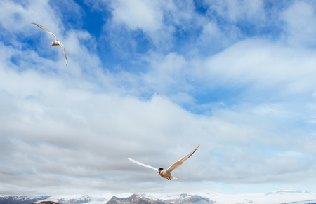 Beautiful polar Tern against a background of beautiful blue sky with cumulus clouds. Stock Photo