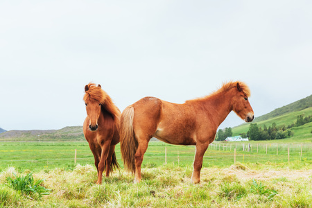 Charming Icelandic horses in a pasture with mountains in the background