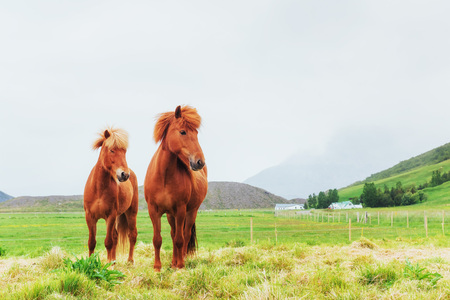 Charming Icelandic horses in a pasture with mountains in the background Reklamní fotografie - 86042263