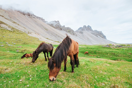 Charming Icelandic horses in a pasture with mountains in the background.