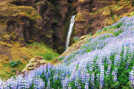 The picturesque landscapes of forests and mountains of Iceland. Wild blue lupine blooming in summer. The most beautiful waterfall. Stock Photo