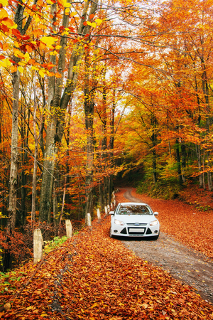 White car on a forest trail. Golden autumn Фото со стока