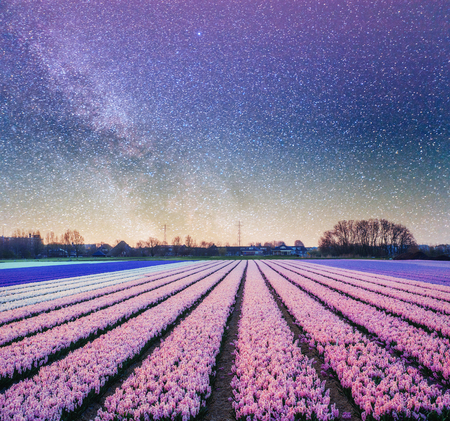Night over fields of daffodils. Fantastic starry sky and the milky way