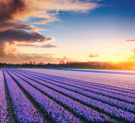 Sunset over fields of daffodils.