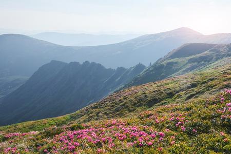 진달래가 산 속의 아름다운 위치에 피어납니다. 산속에 꽃이. 화창한 여름 날 산에서 피는 진달래. 극적인 특이 한 장면입니다. 카르 파티 아, 우크라이