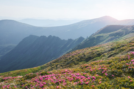 Rhododendrons bloom in a beautiful location in the mountains. Flowers in the mountains. Blooming rhododendrons in the mountains on a sunny summer day. Dramatic unusual scene. Carpathian, Ukraine Zdjęcie Seryjne