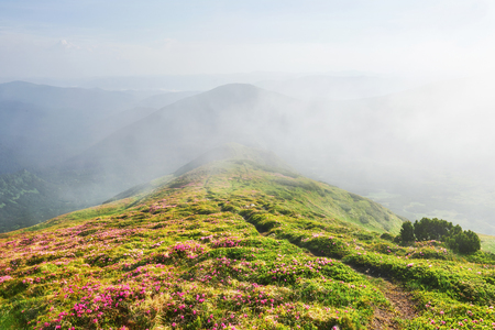 Rhododendrons bloom in a beautiful location in the mountains. Flowers in the mountains. Blooming rhododendrons in the mountains on a sunny summer day. Dramatic unusual scene. Carpathian, Ukraine Stock Photo