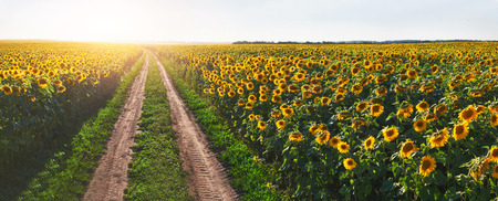 Summer landscape with a field of sunflowers, a dirt road