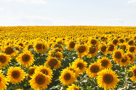 Sunflower field with cloudy blue sky