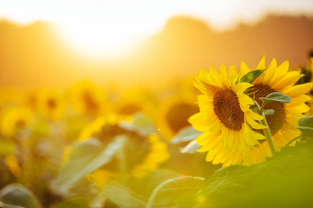 Sunflower field at sunset.