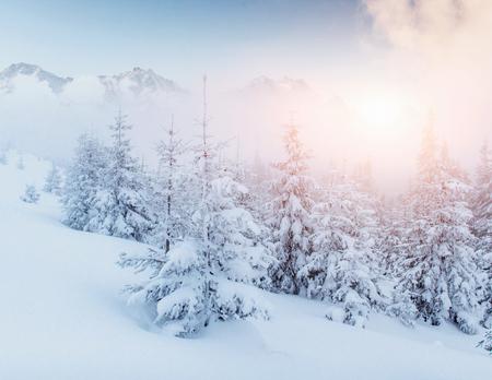 魔法の冬の雪には、ツリーが覆われています。劇的なシーン。カルパティア。ウクライナ。ヨーロッパ 写真素材