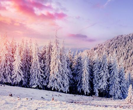 冬の神秘的な冬景色雄大な山々。魔法の冬の雪には、ツリーが覆われています。劇的なシーン。カルパティア。ウクライナ。ヨーロッパ