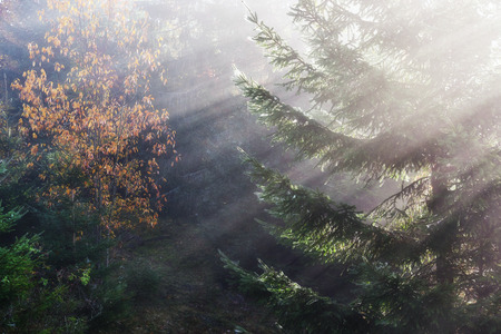 Beautiful morning fog and sunbeams in the autumn pine forest.