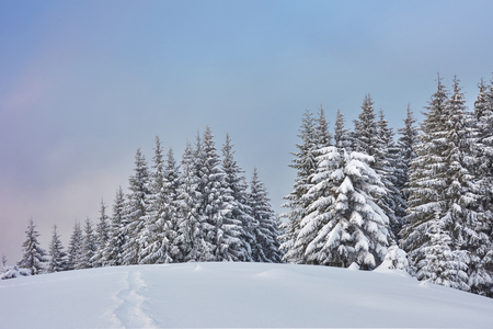 Majestic white spruces glowing by sunlight. Picturesque and gorgeous wintry scene. Location place Carpathian national park, Ukraine, Europe. Alps ski resort. 写真素材
