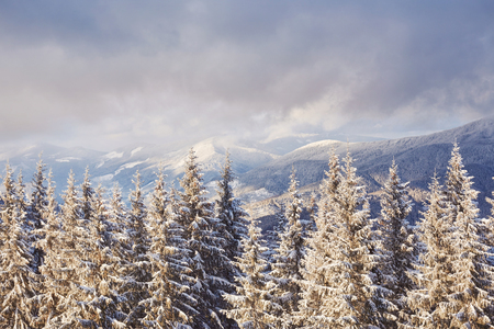 Majestic white spruces glowing by sunlight. Picturesque and gorgeous wintry scene. Location place Carpathian national park, Ukraine, Europe. Alps ski resort. Blue toning. Happy New Year Beauty world.