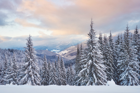 Majestic white spruces glowing by sunlight. Picturesque and gorgeous wintry scene. Location place Carpathian national park, Ukraine, Europe. Alps ski resort. Stock Photo