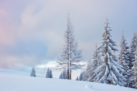 Great winter photo in Carpathian mountains with snow covered fir trees. Colorful outdoor scene, Happy New Year celebration concept. Artistic style post processed photo. Stock Photo - 101403254