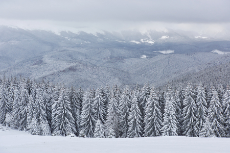 Scenic image of spruces tree. Frosty day, calm wintry scene. Location Carpathian, Ukraine Europe. Ski resort.