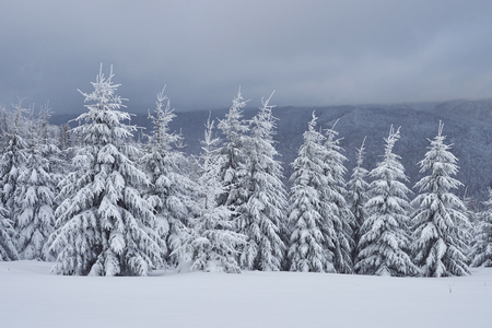 Scenic image of spruces tree. Frosty day, calm wintry scene. Location Carpathian, Ukraine Europe. Ski resort.