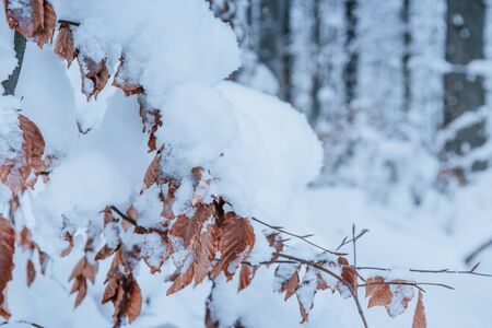 A close-up of a branch full of snow strewn. Winter forest in details. 스톡 콘텐츠 - 134368983
