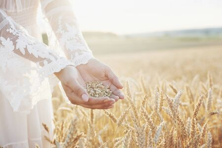 Harvest, close up of girl hands holding wheat grains. Agriculture and prosperity concept.