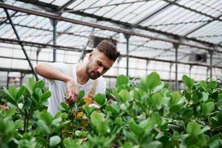 Photo from the front. Young guy having job in hothouse cutting of unnecessary leaves from the plants.