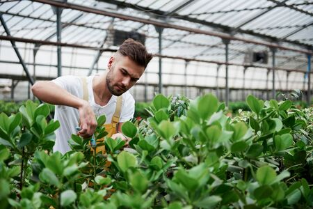 Soon will be a crop. Young guy having job in hothouse cutting of unnecessary leaves from the plants. Stock fotó