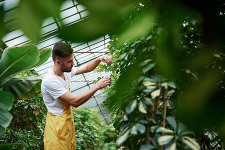 Cut it careful. Photo through the leaves. Attractive stylish bearded man works in hothouse. 版權商用圖片