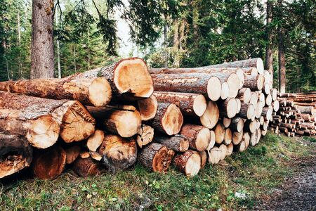 Freshly harvested wooden logs stacked in a pile in the green forest.