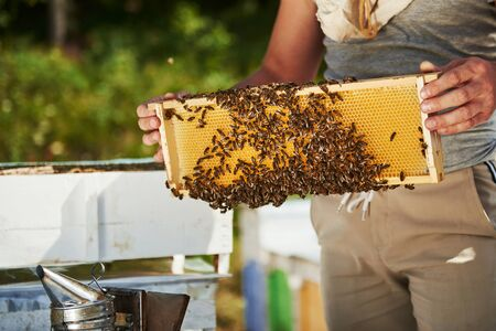 Holds it in hands. Beekeeper works with honeycomb full of bees outdoors at sunny day.