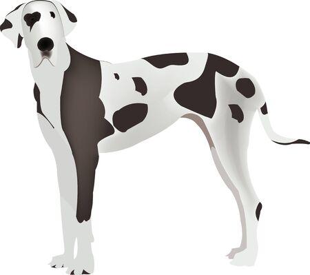 great dane: Large animal breed domestic harlequin Great Dane
