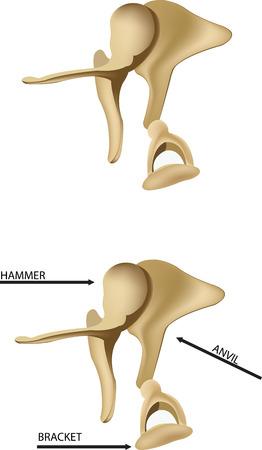 ent: ear bones