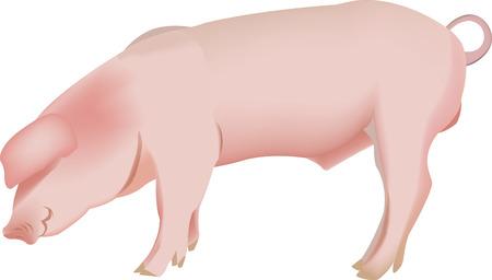 domestic animal: pig domestic animal Illustration