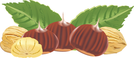 Illustration of chestnuts  with twigs Çizim